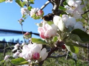 Apfelblüte - Ferienhaus Binder